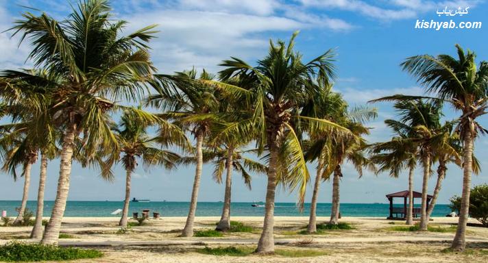درختان نارگیل در جزیره کیش /تصاویر