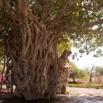 درخت سبز در جزیره کیش