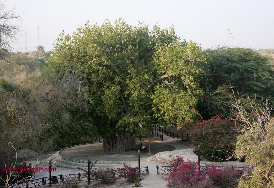 مجموعه درخت سبز در جزیره کیش /تصاویر