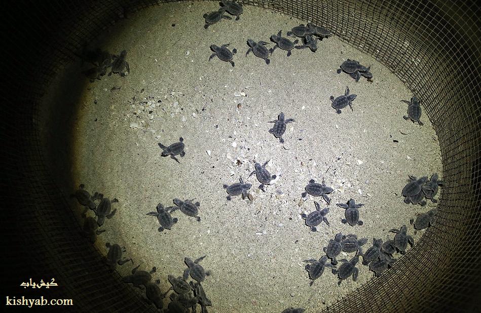 تولد لاک پشتهای پوزه عقابی در جزیره کیش /تصاویر