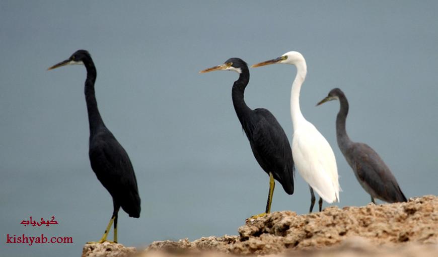 تصاویر زیبا و دیدنی از پرندگان در جزیره کیش